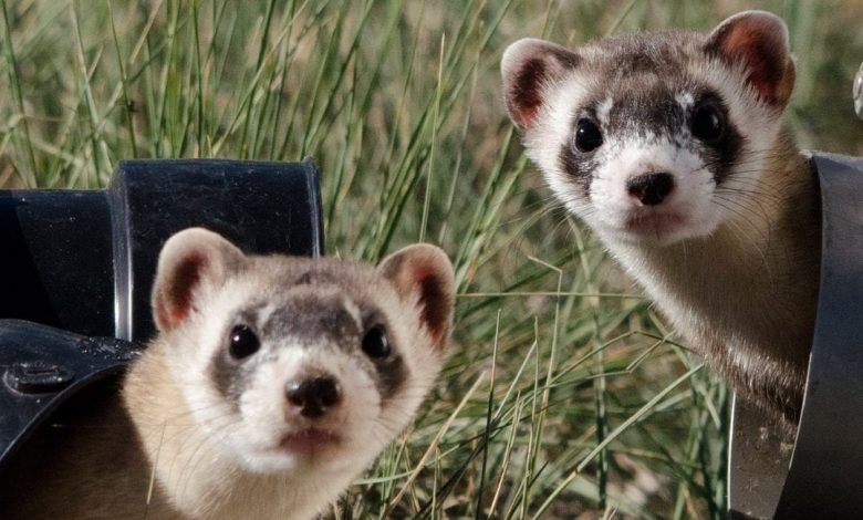 Why are Ferrets Illegal in New York City