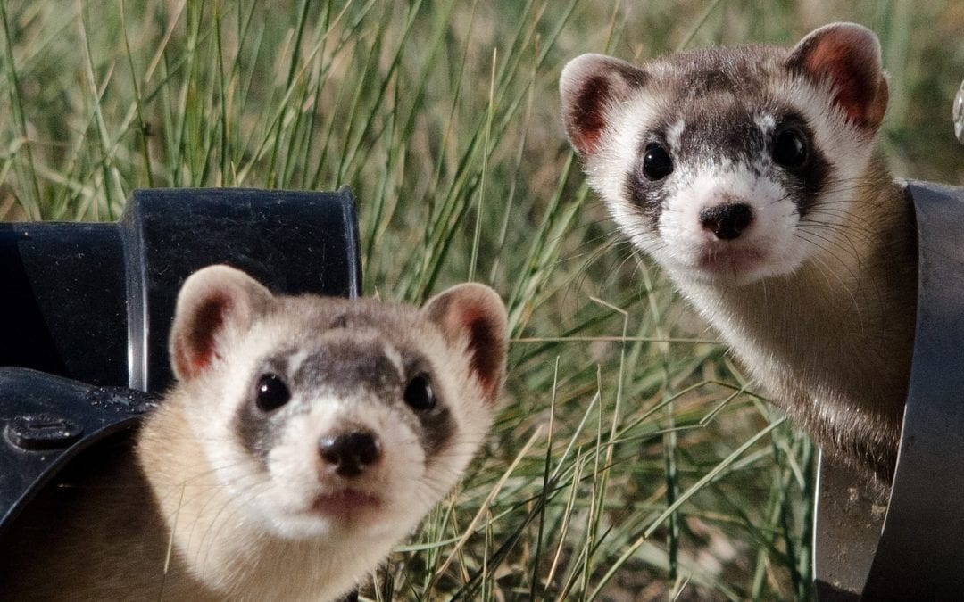 Photo of Why are Ferrets Illegal in New York City?